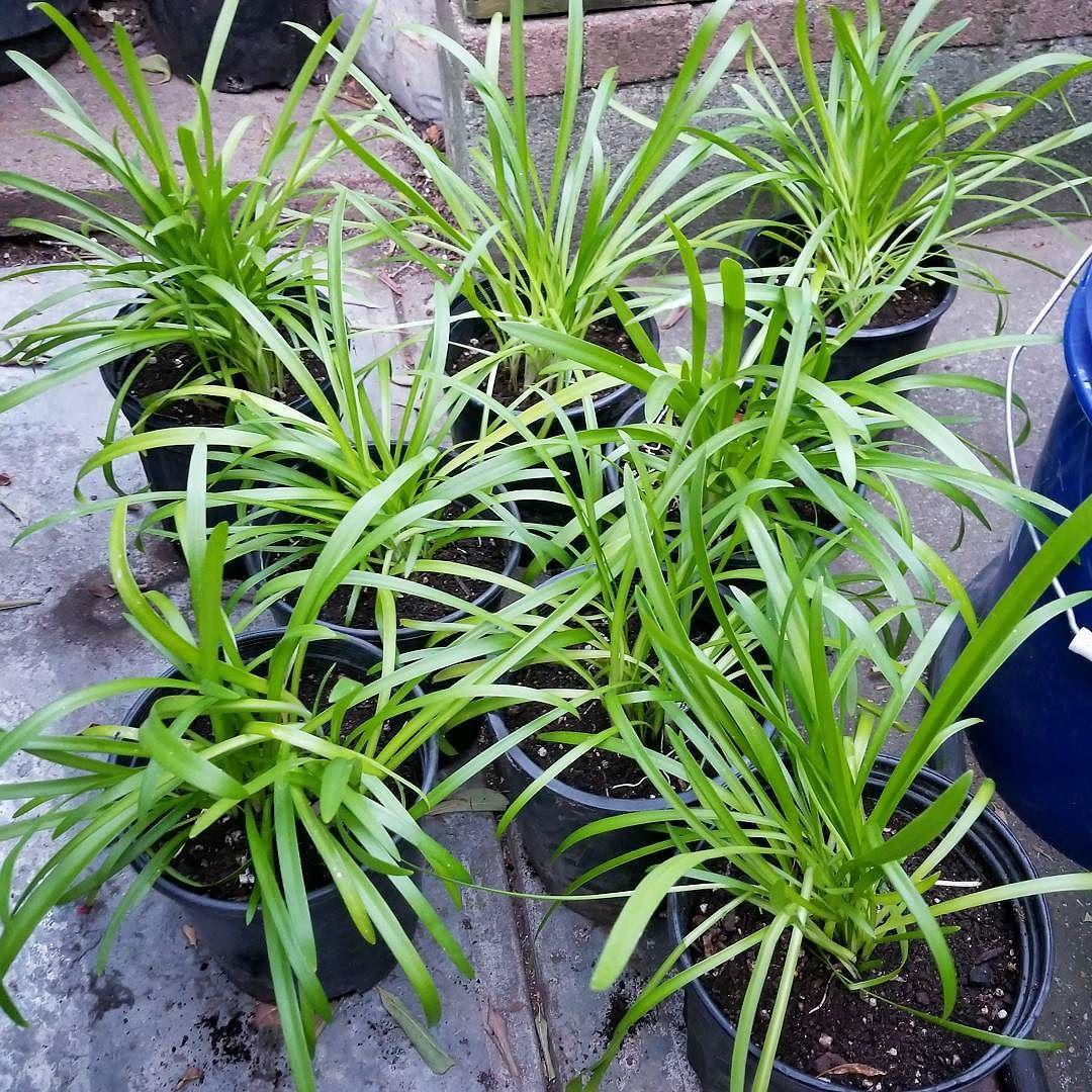 Agapanthus (Variegated Agapanthus Seedlings)