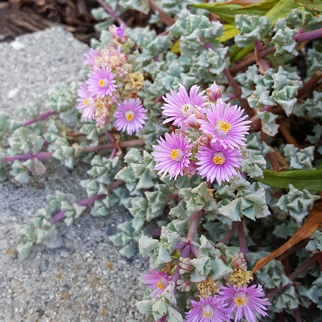 Oscularia deltoides (Pink Ice Plant)